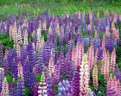 SUMMER SALE! 1,000-5,000 Wild MAINE Lupine Seed. Plant Wild Perennial Lupine for vibrant colors that return year after year.