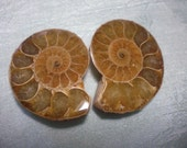 Buttery Toffee Ammonite Fossil Halves, Jewelry Making, Madagascar, Visualization A6