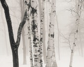birches in winter fog, 8x10 fine art black & white photograph, nature