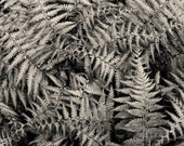 May ferns, 8x10 fine art black & white photograph, nature