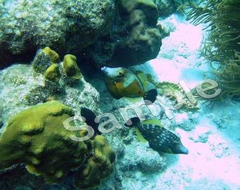 Bonaire 2007 - Trigger Fish