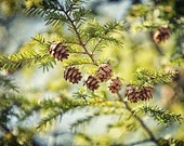 Bright Green Photography, Nature Photography, Woodland, Pinecones, Evergreen, Blue Sky, Woods, Forest, Winter Decor, Christmas Print Art.