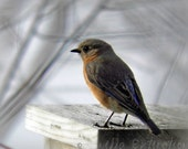 Blue Bird Photography nature,gift for bird lovers,eastern bluebird,female bluebird,birdhouse,adorable,turquoise,peach,home decor,sky blue