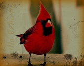 Cardinal Bird Photography Red,female,Gifts under 25,spring,summer,orange,copper,woodland