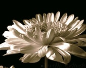 Daisy Floral Photography Gerbera Flower,Gifts under 25,bisque,black and white,dramatic - VanillaExtinction