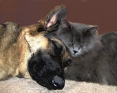 Dog Cat Photography German Shepherd,Gifts under 25,friend,buddy,cuddle,gray,kitten,sleeping dog and cat,adorable pair,cat snuggling with dog