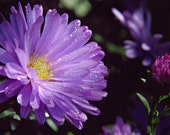 Aster Floral Photography Purple,flower,Gifts under 25,silver,petals,blossoms,summer,faded,,bloom,gray