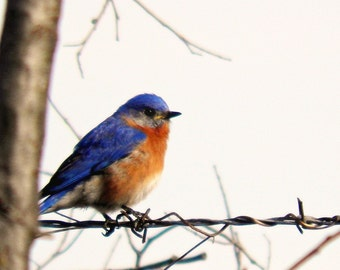 Blue Bird Photography Orange,nature,Gift idea for bird lovers,adorable,turquoise,peach,home decor,sky blue,cerulean,eastern bluebird,cute