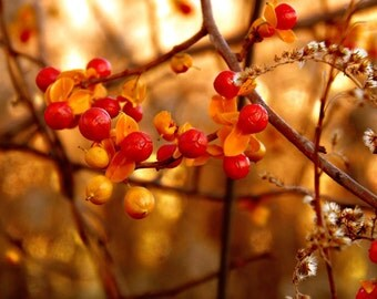Bittersweet Vine Photography berries,Gifts under 25,bokeh,autumn,fall,orange,rustic decor,copper,gold,chartreuse,autumn decor,fall colors