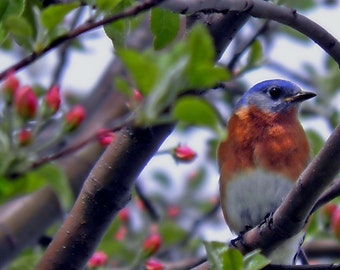 Blue Bird Photography Orange,nature,Gifts under 25,adorable,turquoise,peach,home decor,sky blue