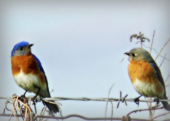 Blue Bird Photography Orange,nature,Gifts under 25, adorable,turquoise,peach,home decor,sky blue