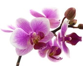 Photograph: Orchid, 20 x 30 cm glossy print, ready to be shipped