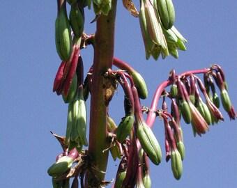 Beschorneria albiflora (Trunking Beschorneria) Amazing hummingbird plant