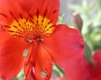 Alstroemeria 'Florist Red'- Tall Peruvian Lily.