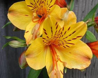 Alstroemeria 'Sussex Gold'- Tall Peruvian Lily.