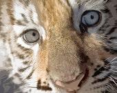"Tiger Cub, 8"" x 8"" Print, Bengal Cat, Animal Print, Safari, Jungle, Nature, Ready to Frame, Fine Art Photography by Glennis Siverson"