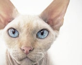 "5"" x 5"" Print, Oliver the Cream Point Devon Rex Cat, Blue Eyes, Humor, Big Ears, Pet Portrait, Fine Art Photography by Glennis Siverson"