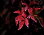 """12"""" x 8"""" Print, Dramatic Red Leaves, Beauty in Nature, Trees, Branches, Fine Art Photography by Glennis Siverson"""