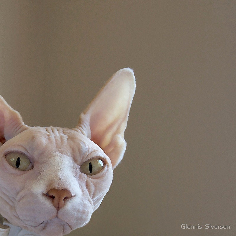 Hairless Cats in Clothes Sphynx Hairless Cat Opal