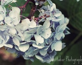 Blue Hydrangea - 8x10 nature photograph