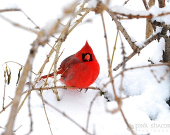 Red Cardinal in Snow Fine Art Print