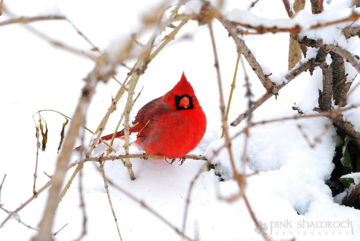 Winter Cardinal Red cardinal in snow 8x10 fine
