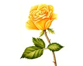 Yellow Rose- Watercolor Painting