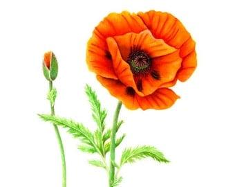 Orange Oriental Poppy, watercolor painting