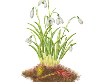 Bursting through with the first signs of Spring are these Snowdrops - Watercolor Painting