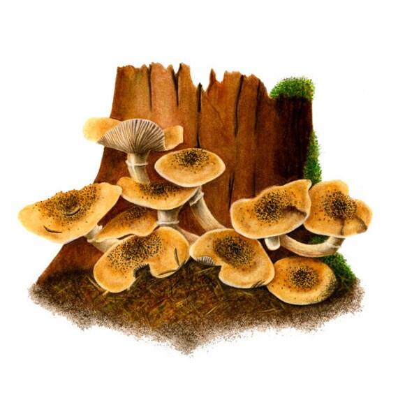 Brown Mushrooms - Armillaria Mellea, watercolor painting