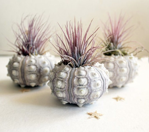 air plant urchin terrarium