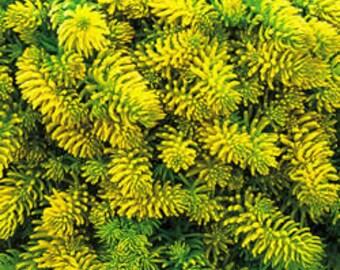 Sedum Angelina  3 plants, flowering plants, live plants, fairy garden plants,more plants at, www.etsy.com/shop/ThePlantBoutique