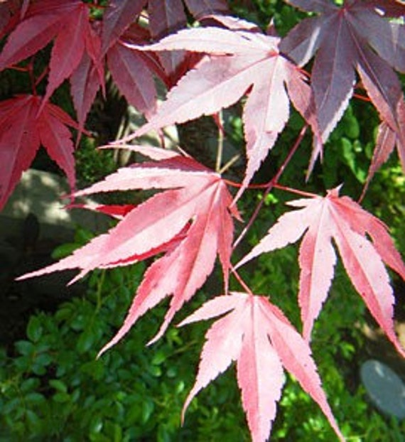 Live Plant---Red Japanese Maple