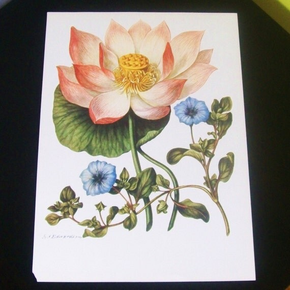 Large botanical book print East Indian Lotus