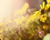 Yellow daisy in January. sunshine. yellow. grass. fine art photograph.