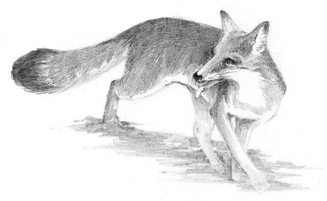 Fox Pencil Drawing