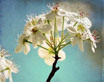 Blue Sky and Pear Blossom 13x19 fine art photography print