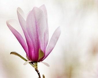 Japanese Magnolia 8x10 fine art photography print