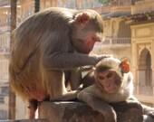 Monkey Love Jaipur Rajasthan India 8X10 Photograph
