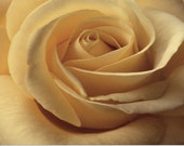 Reserved for Sarah only : 11x14 Yellow Rose, fine art photograph