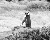 Timid Wandering Penguin from Argentina, 8x10 Fine Art Photograph