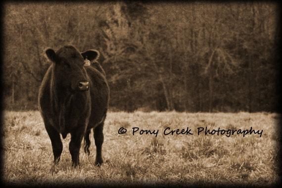 Black Angus Cow 16x24 Fine Art Photograph