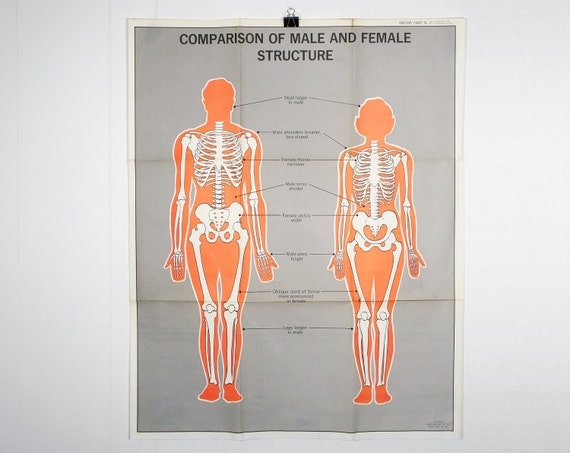 Vintage Anatomical Chart - Comparison of Male and Female Structure