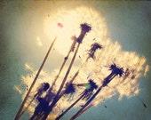 Dandelion Photography, Shabby Chic Picture of Dandelions, Flower Photography,  Aqua Blue & White Nursery Wall Art, Wildflower, 8x10 Print