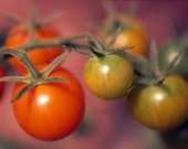 "Cherry tomatoes, photo greeting card, 5""x7"", blank."