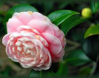 "Single camellia, photo card, 5.6""x4"" (landscape), blank."