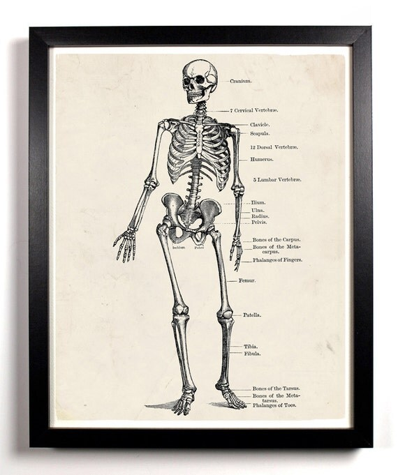 The Human Skeleton Anatomy, Home, Kitchen, Nursery, Bath, Dorm, Office Decor, Wedding Gift, Housewarming Gift, Holiday Gift, Wall Poster