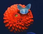 Fine Art Macro Photography Print little blue butterfly on red dahlia