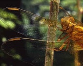 Fine Art Macro Photography Print dragonfly  wings