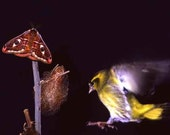 Fine Art Photography Print Nature Siskin in the air